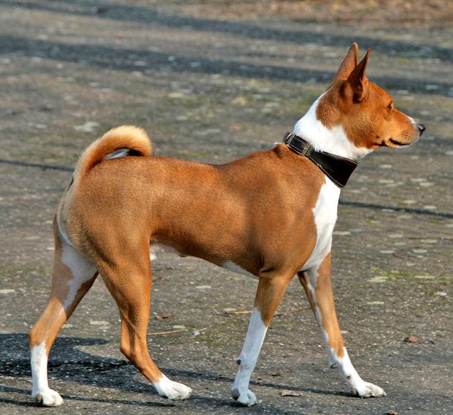 Les chiens hypoallergènes Le Basenji