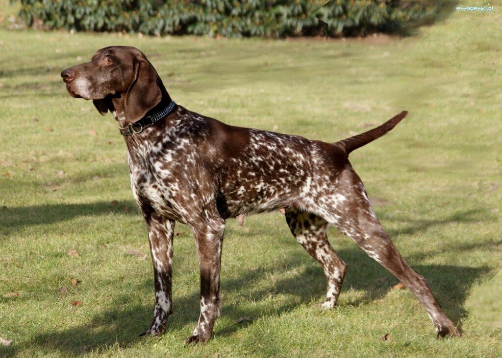 Les chiens hypoallergènes Le Braque Allemand À Poil Court
