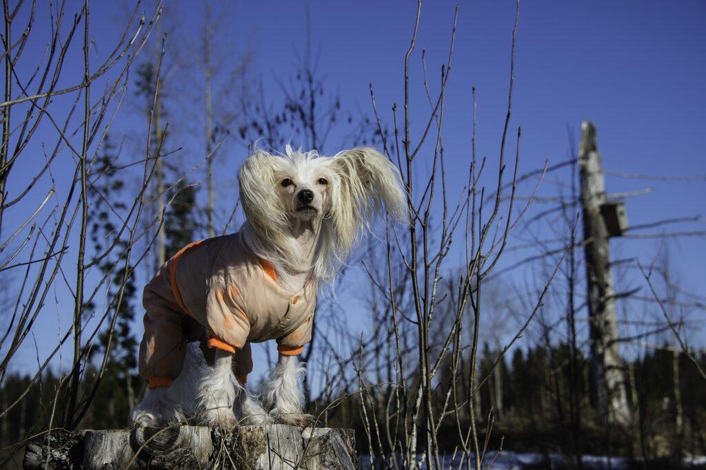 Les chiens hypoallergènes Le Chien Chinois À Crête