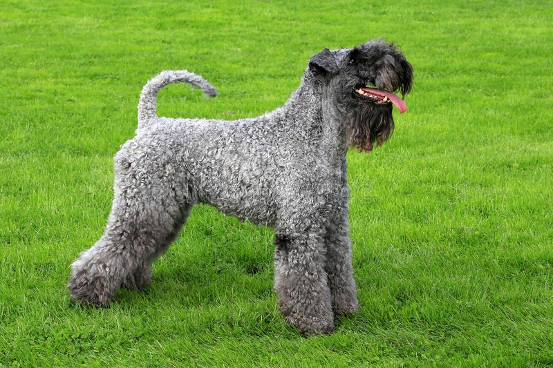 Les chiens hypoallergènes Le Terrier Kerry Blue