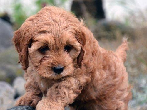 Les chiens hypoallergènes Le chien chinois à crête de type powder-puff