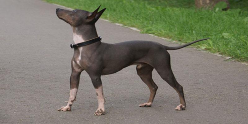 Les chiens hypoallergènes L'American HairlessTerrier - chien sans poils