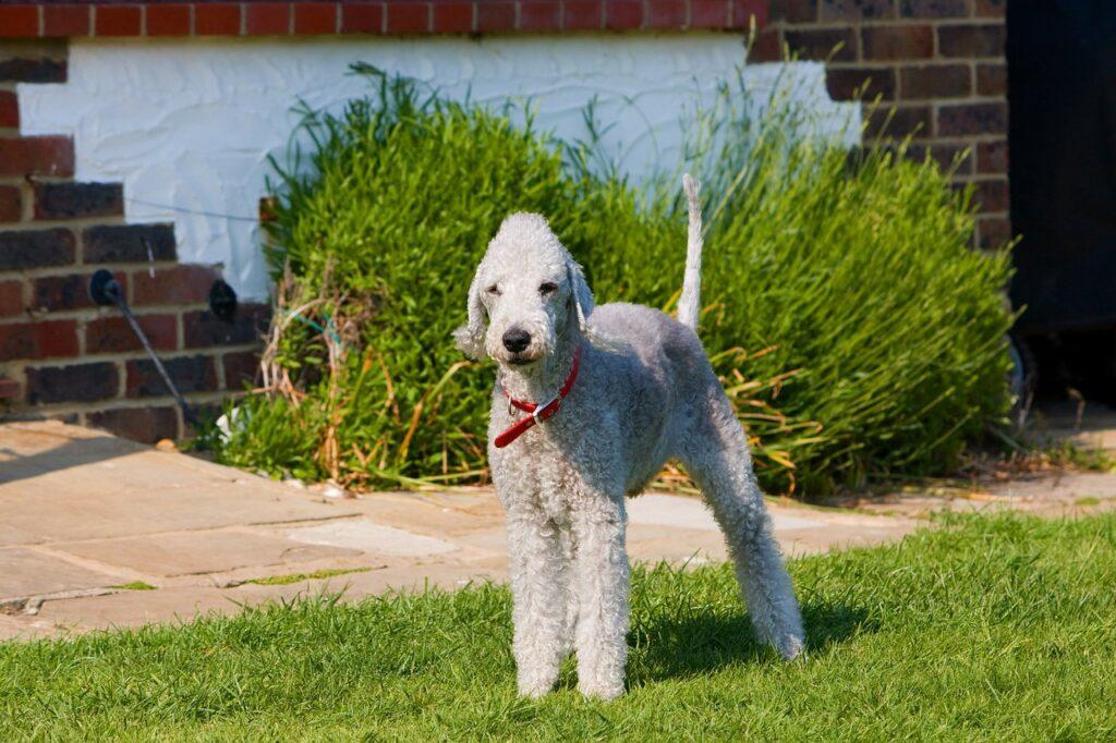 Les chiens hypoallergènes LeBedlington Terriers