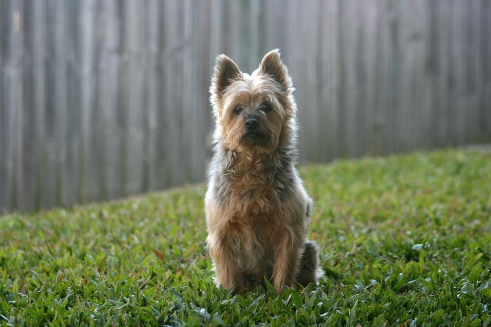 Les chiens hypoallergènes Le Silky Terrier