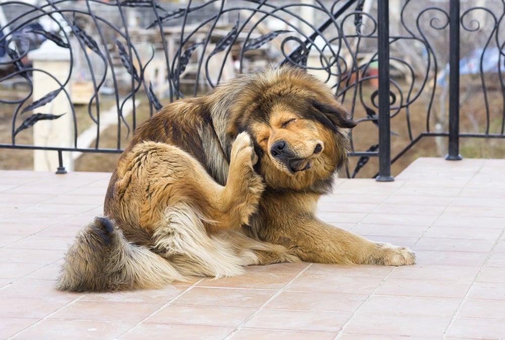 mon chien se gratte