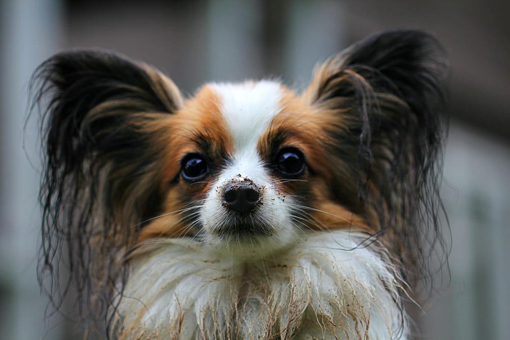 chihuahua-poils-longs